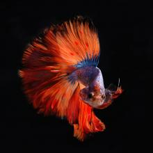 July '20 photo writing prompt, image of red and blue beta fish