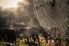 August 2020 photo writing prompt contest (foreground: large spider web on fence; background: herd of cows)