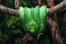 October 2020 photo writing prompt, vibrant green boa constrictor draped on tree branch