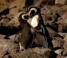 February 2021 photo writing prompt contest (two penguins embracing on a rocky shore)